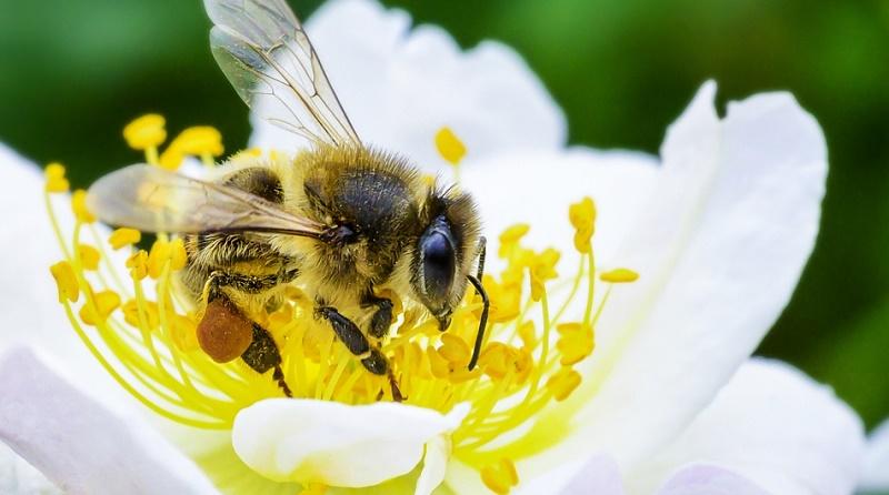 abejas fao
